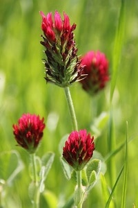 red clover to increase breast size