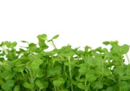 watercress to increase breast size