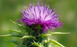 Does milk thistle increase breast size