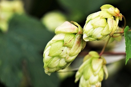 Hops For Breast Enlargement