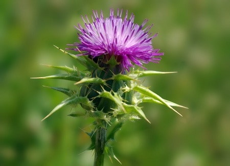 Milk Thistle For Breast Growth