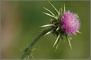 Blessed Thistle for breast enlargement