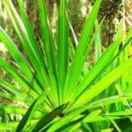 Does Saw Palmetto Increase Breast Size?