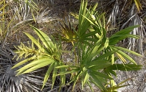 saw palmetto for breast enlargement